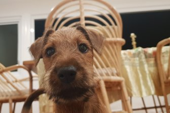 'My family-of-four has just brought Bruce the Irish Terrier home, and he's made a huge, immediate impact on our isolation'