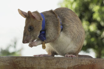 Magawa the rat, wearing his gold medal for his services sniffing out landmines.
