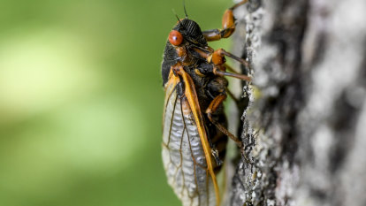 Leap of faith required to cook cicadas