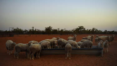 Sheep at a feed trough on Yathonga Station near Tilpa, NSW.