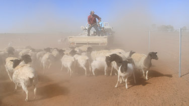 A farmer feeds his sheep on a farm near Bollon, Queensland, this week.