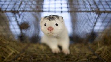 Denmark will cull its entire mink population amid coronavirus transmission fears.