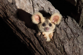 David Lindenmayer had the closest of encounters with a greater glider, a species he has spent decades studying.