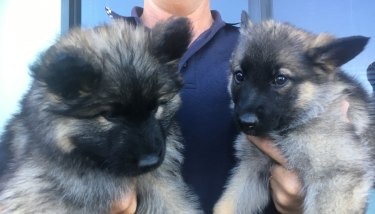 The Queensland police's R Litter made their public debut on Thursday.