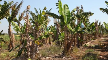 Panama disease tropical race 4 devastates banana crops.