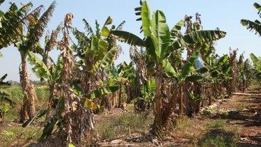 Panama disease tropical race 4 devastates banana crops.