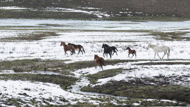 Brumbies seen in the snow on May 7 along the Snowy Mountains Highway near Kiandra, NSW.