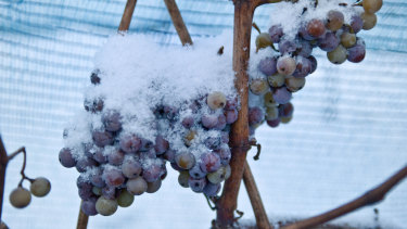 Snow-covered grapes hang in a vineyard near Freyburg, Germany.