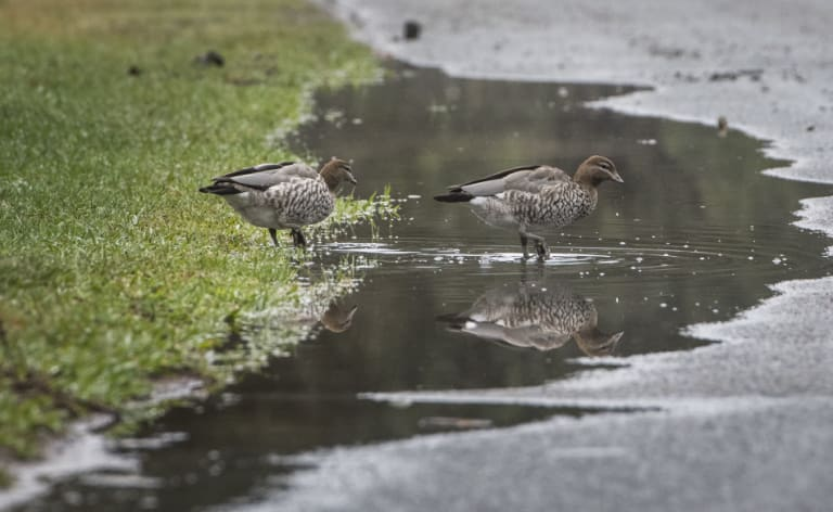 It was weather for ducks - and farmers - on Wednesday with 15.2 millimetres of rain in Canberra.