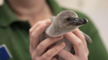 London Zoo unveils a Humboldt penguin chick, named Rainbow,  who was found alive after her parents accidentally stepped on her egg and broke it.