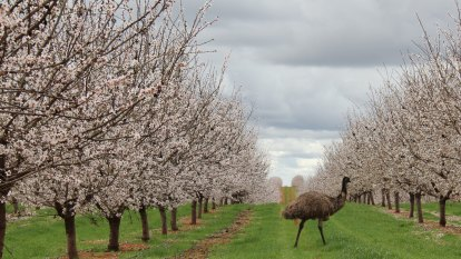 Almond producer hits pay dirt as orchards tap 'economic sweet spot'