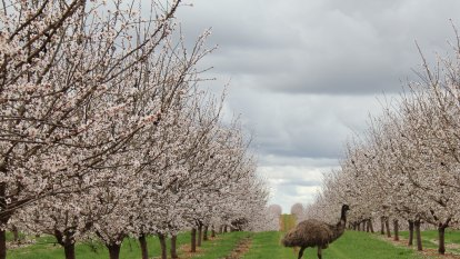 'We can't be distracted': Almond producer nervously watches trade stoush as profit falls