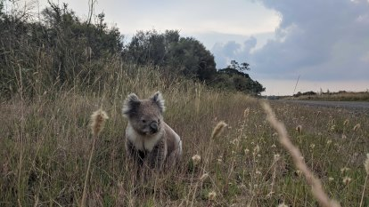 'They're like rabbits': Wildlife experts call for post-fires koala plan