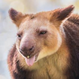Simbu the tree kangaroo makes Canberra his home