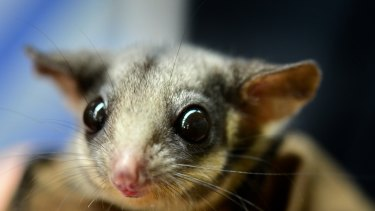 Delayed assessment: The critically endangered Leadbeater's possum lives in tree hollows in Victoria's central highlands.