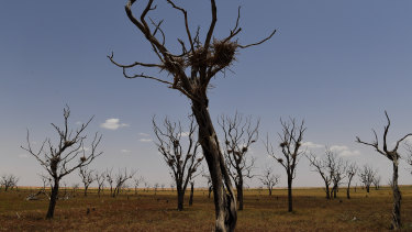 Birds nests - possibly for cormorants - sit in branches of trees in a dried-up region on the outskirts of Bourke in north-western NSW.