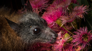 A rescued orphaned grey-headed flying fox feeds on eucalyptus pollen; the animal is listed as vulnerable.
