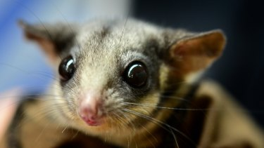The critically endangered Leadbeater's possum was recently at the centre of court action triggered by federal environmental protection laws.