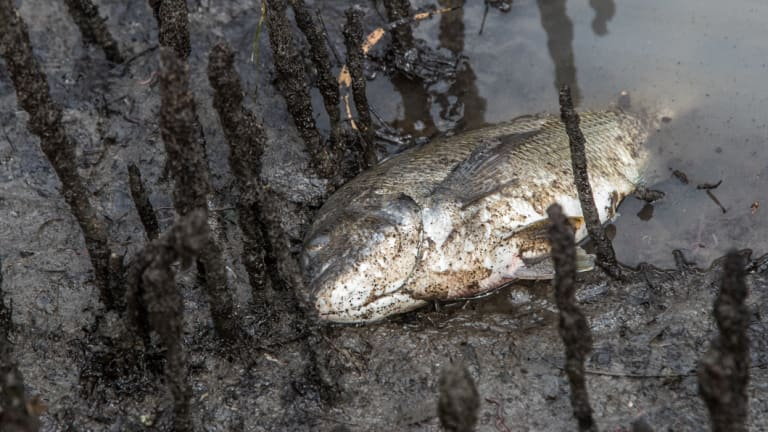 Potentially hundreds of fish and other wildlife  have died since chemicals and fire retardant from the factory fire in West Footscray have washed in Stony Creek.