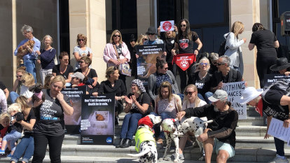 'Hundreds of millions of dollars': Puppy farms in WA's sights as fight continues for Strawberry the boxer