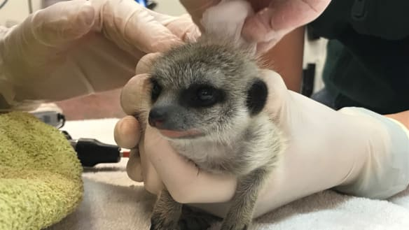 Third person charged over Perth Zoo baby meerkat theft