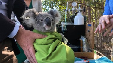 This young koala was tagged, measured and released back into Carindale bushland on Thursday.