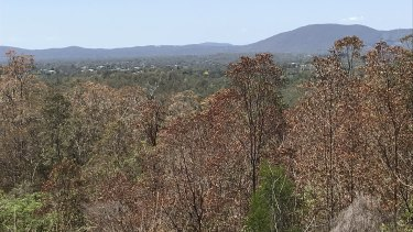Suburbs around Brisbane and south-east Queensland have seen alarming rates of defoliation.