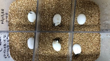 An egg incubator, with six tiny turtles inside.