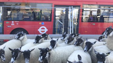 The sheep drive has been resurrected as an annual charity event.