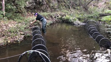Tamielle Brunt setting trap nets during a platypus survey.