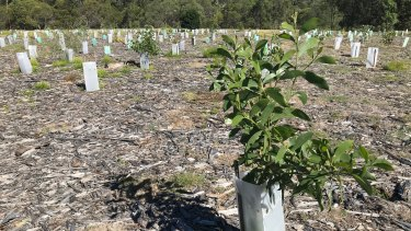 10-month old trees planted as part of the Brisbane Koala Bushland revegetation program.