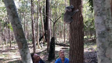 Lord mayor Adrian Schrinner and UQ vet Amber Gillett release the young koala back into her home.