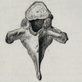 This anatomical drawing, by Scottish artist and anatomist Andrew Fyfe (1752-1824), shows the first dorsal vertebrae.