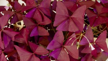 Purplel oxalis is among the striking foliage plants  propagated by the Smiths.