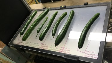 The cucumbers that Makoko Koike has graded using Google's TensorFlow AI tools.