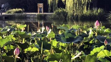 Pink lotus riverside in Beijing in summer.