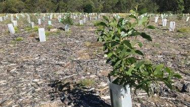 10-month old trees planted as part of the Brisbane Koala Bushland revegetation program.