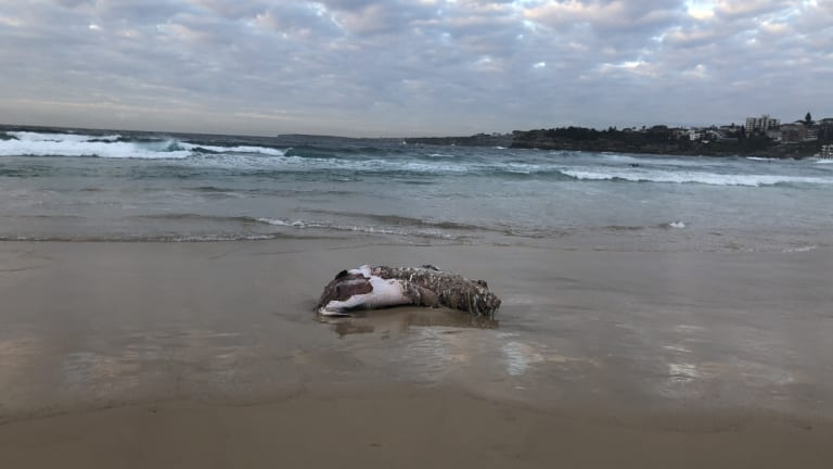 The carcass of an infant whale washed up at North Bondi overnight.