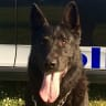 Devoted police dog collapses after chasing pair for three kilometres