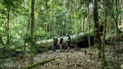 When an Indigenous scar tree falls in the forest, everyone now knows