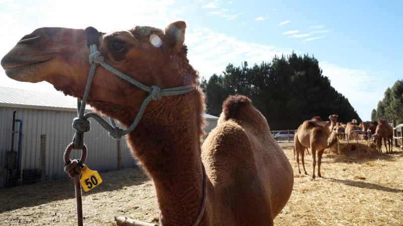 Australian camels come under artillery fire in Libya