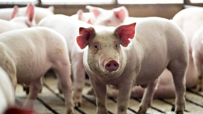 Thailand culls 200 pigs amid heightened fears over African swine fever