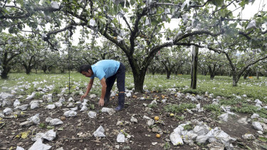 A man picks up pears knocked to the ground after Typhoon Lingling passed through Suncheon, South Korea.