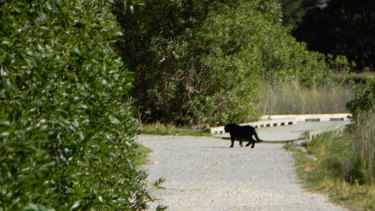 A photo sent to Simon Townsend from somewhere in the  Otways, which he believes to be a hoax involving a feral cat.