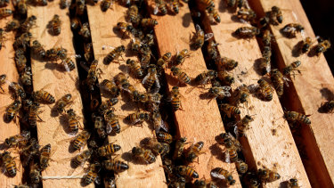 European honey bees sit on a frame from a bee hive in Sao Roque.