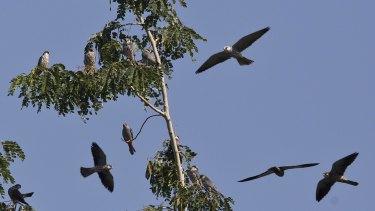 Amur Falcons (Falco amurensis) fly over the Doyang reservoir at Pangti village.