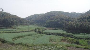 A Eucalyptus tereticornis plantation in Guangxi province.
