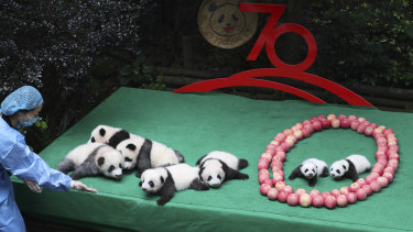 Baby pandas from the Chengdu Research Base of Giant Panda Breeding are enlisted to help with the 70th Chinese national day celebrations.