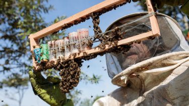 A worker inspects a frame from a bee hive of European honey bees in Sao Roque, Sao Paulo state, Brazil.