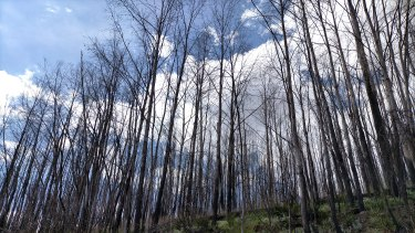 Alpine ash forest in south-eastern Australia, photographed in January 2021, is still struggling to recover from the Black Summer fires one year ago.